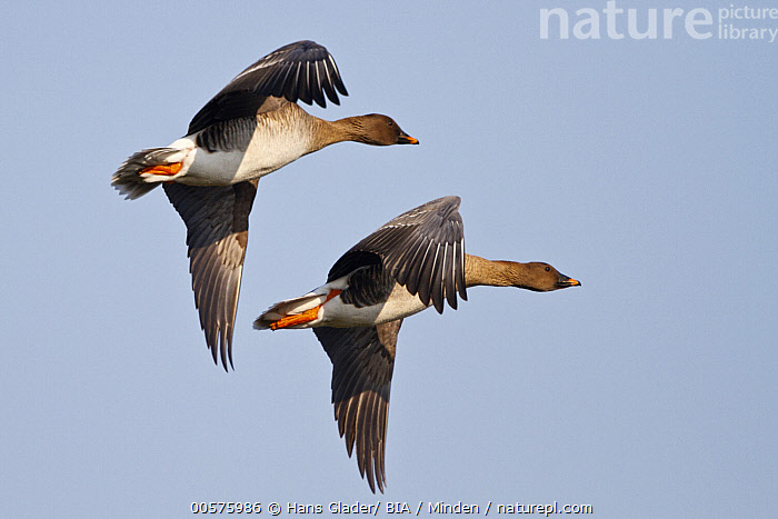 Bean Goose (Anser fabalis) pair flying, North Rhine-Westphalia, Germany  ,  Adult, Anser fabalis, Bean Goose, Color Image, Day, Flying, Full Length, Germany, Horizontal, Nobody, North Rhine-Westphalia, Outdoors, Photography, Side View, Two Animals, Unison, Waterfowl, Wildlife,Bean Goose,Germany  ,  Hans Glader/ BIA