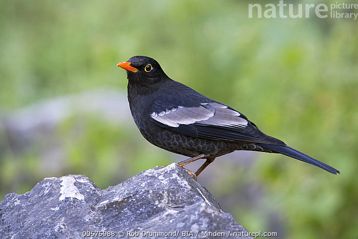 Grey-winged Blackbird (Turdus boulboul) male, Thailand  ,  Adult, Color Image, Day, Full Length, Grey-winged Blackbird, Horizontal, Male, Nobody, One Animal, Outdoors, Photography, Side View, Songbird, Thailand, Turdus boulboul, Wildlife,Grey-winged Blackbird,Thailand  ,  Rob Drummond/ BIA