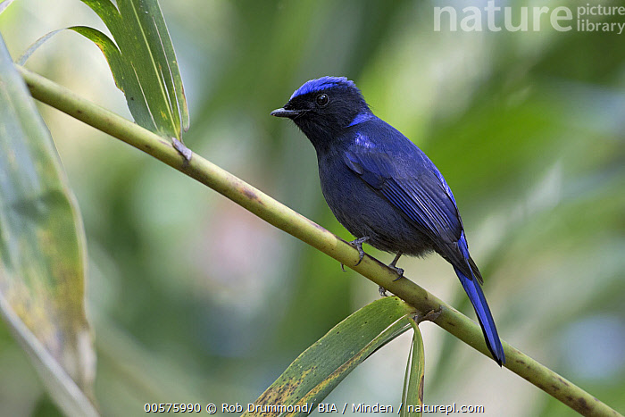 Large Niltava (Niltava grandis) male, Doi Inthanon National Park, Thailand  ,  Adult, Color Image, Day, Doi Inthanon National Park, Full Length, Horizontal, Large Niltava, Male, Niltava grandis, Nobody, One Animal, Outdoors, Photography, Side View, Songbird, Thailand, Wildlife,Large Niltava,Thailand  ,  Rob Drummond/ BIA