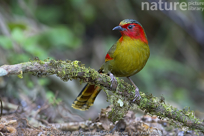 Red-faced Liocichla (Liocichla phoenicea), Thailand  ,  Adult, Color Image, Day, Full Length, Horizontal, Liocichla phoenicea, Nobody, One Animal, Outdoors, Photography, Red-faced Liocichla, Side View, Songbird, Thailand, Wildlife,Red-faced Liocichla,Thailand  ,  Rob Drummond/ BIA