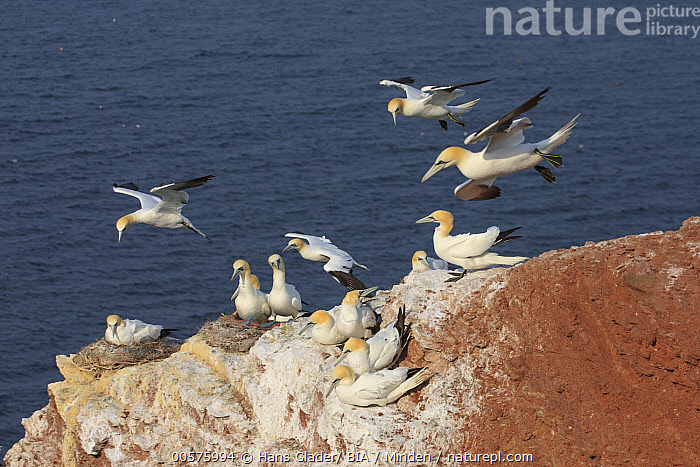 Northern Gannet (Morus bassanus) group nesting and flying, Schleswig-Holstein, Germany  ,  Adult, Color Image, Day, Flying, Full Length, Germany, Horizontal, Medium Group of Animals, Morus bassanus, Nest, Nobody, Northern Gannet, Outdoors, Photography, Schleswig-Holstein, Seabird, Side View, Wildlife,Northern Gannet,Germany  ,  Hans Glader/ BIA