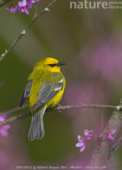 Blue-winged Warbler (Vermivora cyanoptera), Ohio  ,  Adult, Blue-winged Warbler, Color Image, Day, Full Length, Nobody, Ohio, One Animal, Outdoors, Photography, Rear View, Songbird, Vermivora cyanoptera, Vertical, Wildlife,Blue-winged Warbler,Ohio, USA  ,  Robert Royse/ BIA