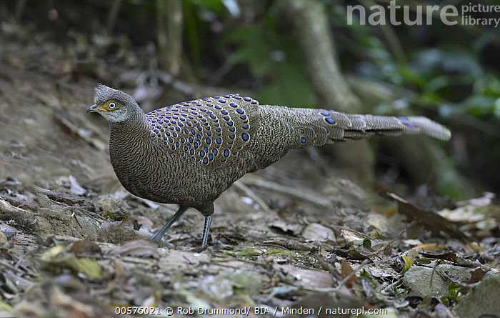 Grey Peacock Pheasant (Polyplectron bicalcaratum) male, Thailand  ,  Adult, Color Image, Day, Full Length, Gamebird, Grey Peacock Pheasant, Horizontal, Male, Nobody, One Animal, Outdoors, Photography, Polyplectron bicalcaratum, Side View, Thailand, Wildlife,Grey Peacock Pheasant,Thailand  ,  Rob Drummond/ BIA