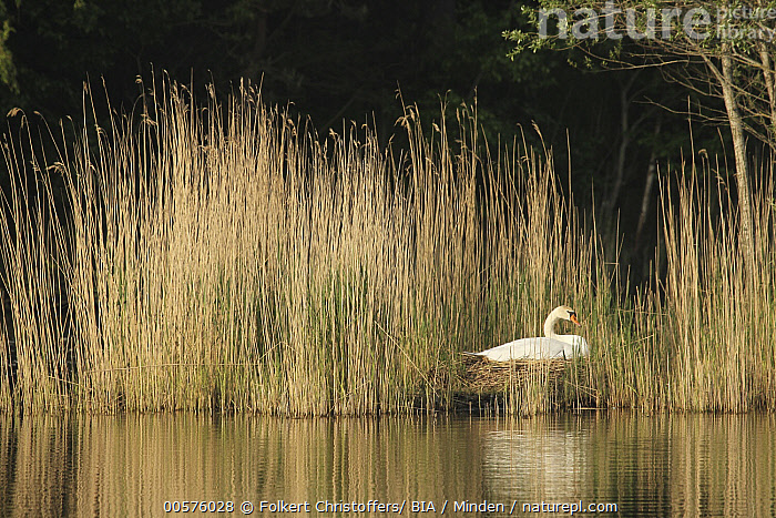 Mute Swan (Cygnus olor) on nest, Lower Saxony, Germany  ,  Adult, Animal in Habitat, Color Image, Cygnus olor, Day, Full Length, Germany, Horizontal, Incubating, Lake, Lone, Lower Saxony, Mute Swan, Nest, Nobody, One Animal, Outdoors, Photography, Side View, Solitude, Waterfowl, Wildlife,Mute Swan,Germany  ,  Folkert Christoffers/ BIA