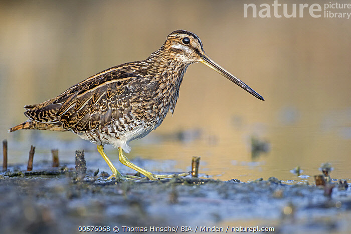 Common Snipe (Gallinago gallinago), Lower Saxony, Germany  ,  Adult, Color Image, Common Snipe, Day, Full Length, Gallinago gallinago, Germany, Horizontal, Lower Saxony, Nobody, One Animal, Outdoors, Photography, Shorebird, Side View, Wildlife,Common Snipe,Germany  ,  Thomas Hinsche/ BIA
