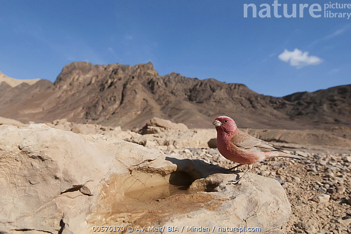 Pale Rosefinch (Carpodacus synoicus) male in desert, Eilat, Israel  ,  Adult, Animal in Habitat, Carpodacus synoicus, Color Image, Day, Desert, Eilat, Full Length, Horizontal, Israel, Male, Nobody, One Animal, Outdoors, Pale Rosefinch, Photography, Side View, Songbird, Wide-angle Lens, Wildlife,Pale Rosefinch,Israel  ,  Avi Meir/ BIA