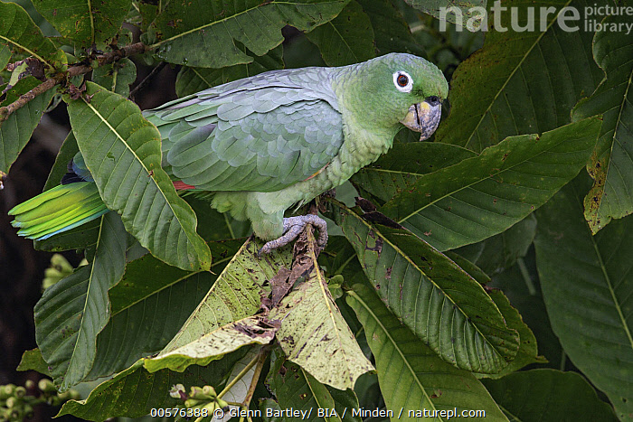 Mealy Parrot (Amazona farinosa), Ecuador  ,  Adult, Amazona farinosa, Color Image, Day, Ecuador, Full Length, Horizontal, Mealy Parrot, Nobody, One Animal, Outdoors, Parrot, Photography, Side View, Wildlife,Mealy Parrot,Ecuador  ,  Glenn Bartley/ BIA