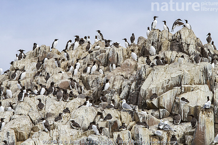 Common Murre (Uria aalge) colony, Farne Islands, England, United Kingdom  ,  Adult, Color Image, Common Murre, Colony, Day, England, Farne Islands, Full Length, Horizontal, Large Group of Animals, Nobody, Outdoors, Photography, Seabird, Side View, United Kingdom, Uria aalge, Wildlife,Common Murre,United Kingdom  ,  Brais Seara Fernandez/ BIA