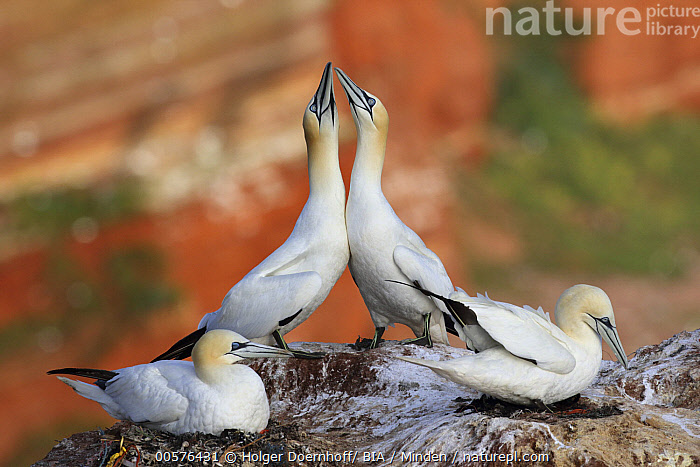 Northern Gannet (Morus bassanus) pair courting, Schleswig-Holstein, Germany  ,  Adult, Color Image, Courting, Day, Displaying, Female, Four Animals, Full Length, Germany, Horizontal, Male, Morus bassanus, Nobody, Northern Gannet, Outdoors, Photography, Posture, Schleswig-Holstein, Seabird, Side View, Wildlife,Northern Gannet,Germany  ,  Holger Doernhoff/ BIA