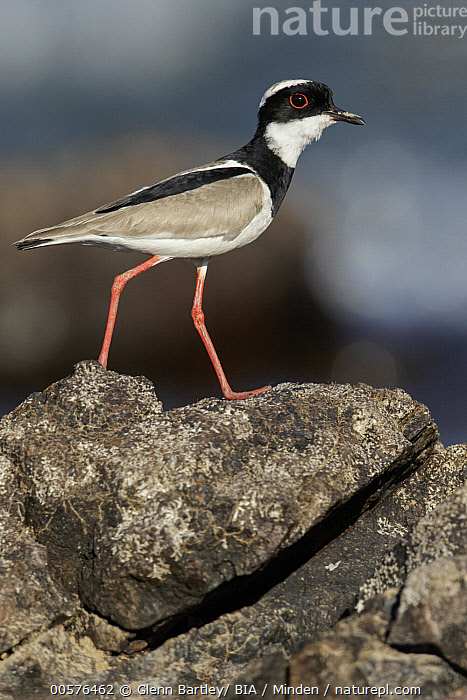 Pied Lapwing (Vanellus cayanus), Brazil  ,  Adult, Brazil, Color Image, Day, Full Length, Nobody, One Animal, Outdoors, Photography, Pied Lapwing, Shorebird, Side View, Vanellus cayanus, Vertical, Wildlife,Pied Lapwing,Brazil  ,  Glenn Bartley/ BIA