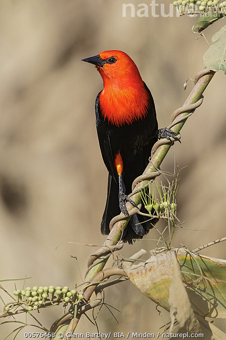 Scarlet-headed Blackbird (Amblyramphus holosericeus), Pantanal, Brazil  ,  Adult, Amblyramphus holosericeus, Brazil, Color Image, Day, Front View, Full Length, Nobody, One Animal, Outdoors, Pantanal, Photography, Scarlet-headed Blackbird, Songbird, Vertical, Wildlife,Scarlet-headed Blackbird,Brazil  ,  Glenn Bartley/ BIA