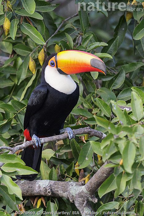Toco Toucan (Ramphastos toco), Pantanal, Brazil  ,  Adult, Brazil, Color Image, Day, Full Length, Nobody, One Animal, Outdoors, Pantanal, Photography, Ramphastos toco, Side View, Toco Toucan, Vertical, Wildlife,Toco Toucan,Brazil  ,  Glenn Bartley/ BIA