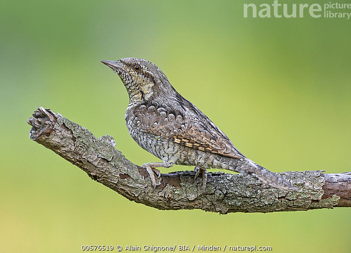 Eurasian Wryneck (Jynx torquilla), Aosta Valley, Italy  ,  Adult, Aosta Valley, Color Image, Day, Eurasian Wryneck, Full Length, Horizontal, Italy, Jynx torquilla, Nobody, One Animal, Outdoors, Photography, Side View, Wildlife,Eurasian Wryneck,Italy  ,  Alain Ghignone/ BIA