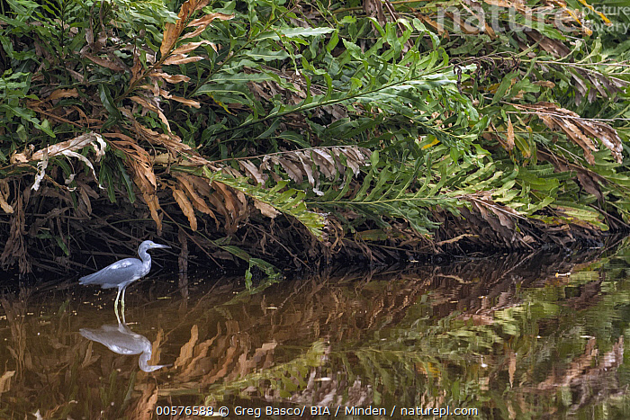 Little Blue Heron (Egretta caerulea) in wetland, Limon, Costa Rica  ,  Adult, Animal in Habitat, Color Image, Costa Rica, Day, Egretta caerulea, Full Length, Horizontal, Limon, Little Blue Heron, Nobody, One Animal, Outdoors, Photography, Reflection, Side View, Wading Bird, Wetland, Wildlife,Little Blue Heron,Costa Rica  ,  Greg Basco/ BIA