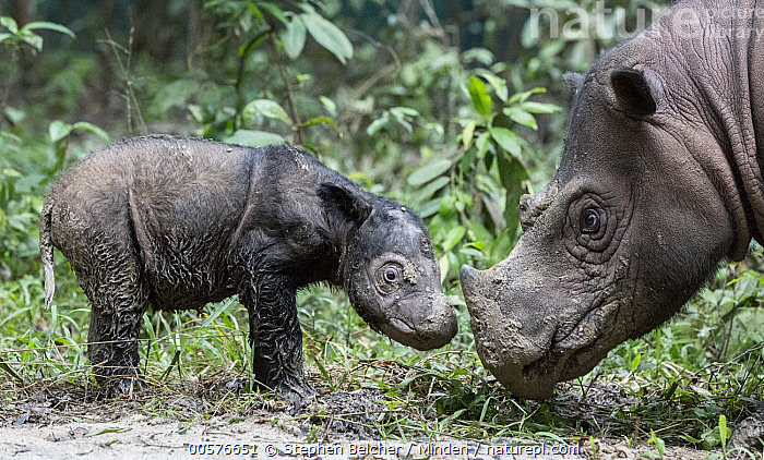 Sumatran Rhinoceros (Dicerorhinus sumatrensis) mother with newborn calf, native to Asia  ,  Adult, Baby, Calf, Captive, Color Image, Critically Endangered, Cute, Day, Dicerorhinus sumatrensis, Female, Full Length, Head and Shoulders, Horizontal, Mother, Nobody, Outdoors, Parent, Photography, Side View, Sumatran Rhinoceros, Two Animals, Wildlife,Sumatran Rhinoceros  ,  Stephen Belcher