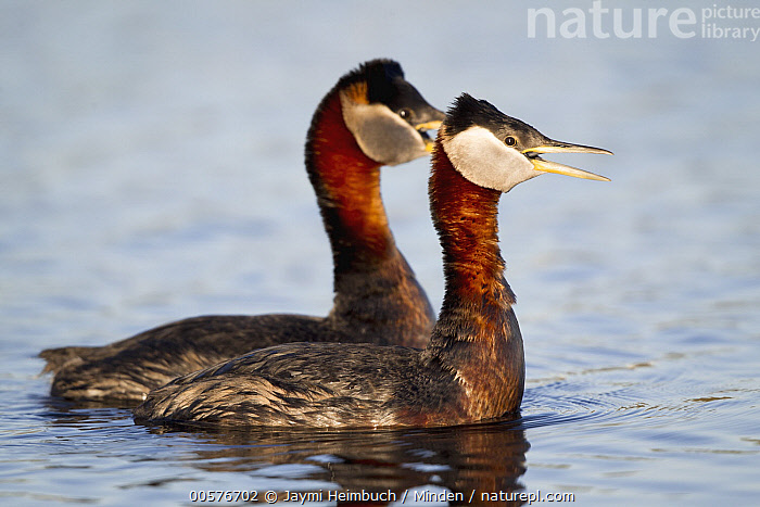 Red-necked Grebe (Podiceps grisegena) pair calling, Nome, Alaska  ,  Adult, Alaska, Calling, Color Image, Day, Full Length, Horizontal, Nobody, Nome, Open Mouth, Outdoors, Photography, Podiceps grisegena, Red-necked Grebe, Side View, Two Animals, Water Bird, Wildlife,Red-necked Grebe,Alaska, USA  ,  Jaymi Heimbuch