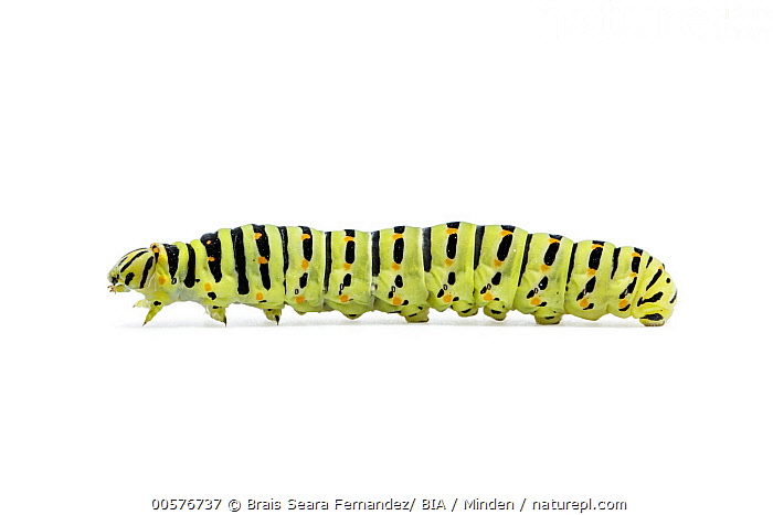 Oldworld Swallowtail (Papilio machaon) caterpillar, Galicia, Spain  ,  Caterpillar, Color Image, Cut Out, Day, Full Length, Galicia, Horizontal, Indoors, Nobody, Oldworld Swallowtail, One Animal, Papilio machaon, Photography, Side View, Spain, Studio, White Background, Wildlife,Oldworld Swallowtail,Spain  ,  Brais Seara Fernandez/ BIA