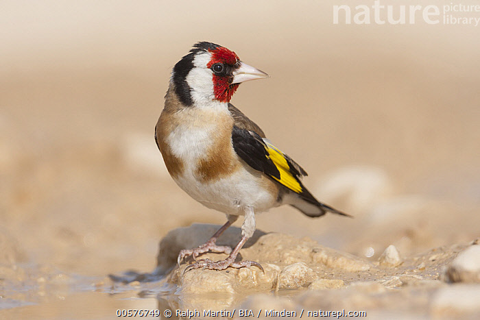 European Goldfinch (Carduelis carduelis) male, Croatia  ,  Adult, Carduelis carduelis, Color Image, Croatia, Day, European Goldfinch, Full Length, Horizontal, Male, Nobody, One Animal, Outdoors, Photography, Side View, Songbird, Wildlife,European Goldfinch,Croatia  ,  Ralph Martin/ BIA