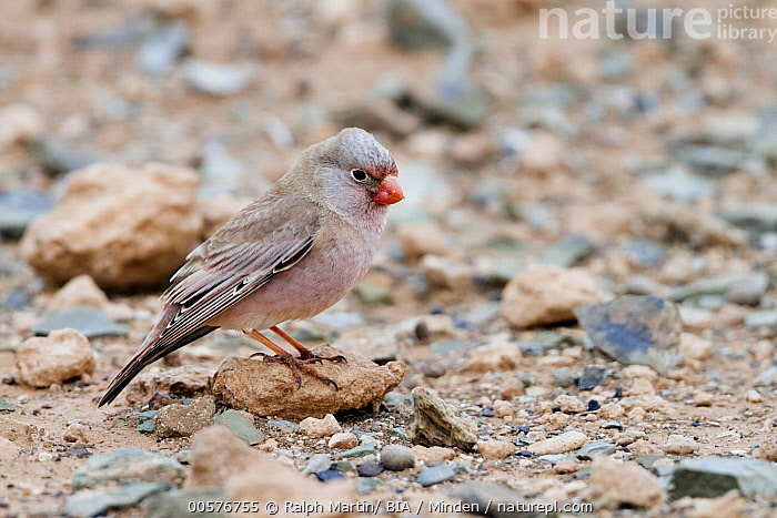 Trumpeter Finch (Bucanetes githagineus), Morocco  ,  Adult, Bucanetes githagineus, Color Image, Day, Full Length, Horizontal, Morocco, Nobody, One Animal, Outdoors, Photography, Side View, Songbird, Trumpeter Finch, Wildlife,Trumpeter Finch,Morocco  ,  Ralph Martin/ BIA