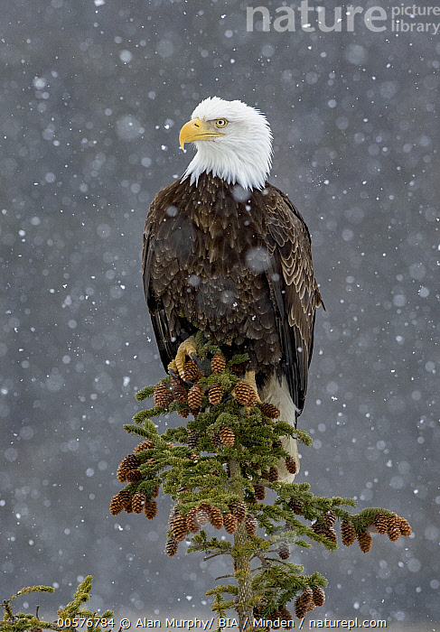 Bald Eagle (Haliaeetus leucocephalus) in snowfall, Alaska  ,  Adult, Alaska, Bald Eagle, Color Image, Day, Full Length, Haliaeetus leucocephalus, Nobody, One Animal, Outdoors, Photography, Raptor, Side View, Snowfall, Vertical, Wildlife, Winter,Bald Eagle,Alaska, USA  ,  Alan Murphy/ BIA