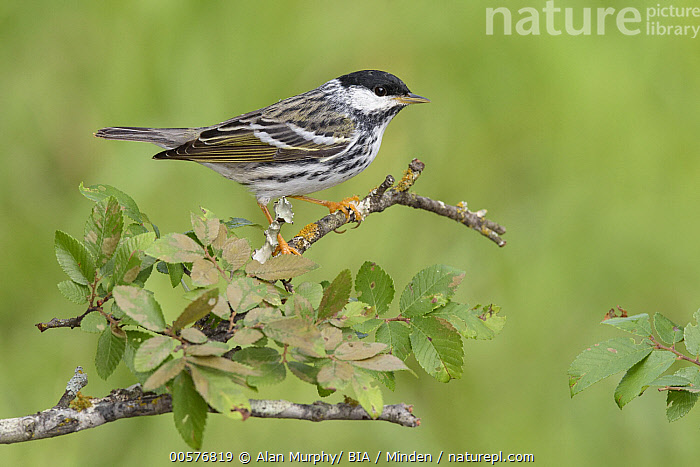 Blackpoll Warbler (Setophaga striata) male, Texas  ,  Adult, Blackpoll Warbler, Color Image, Day, Full Length, Horizontal, Male, Nobody, One Animal, Outdoors, Photography, Setophaga striata, Side View, Songbird, Texas, Wildlife,Blackpoll Warbler,Texas, USA  ,  Alan Murphy/ BIA