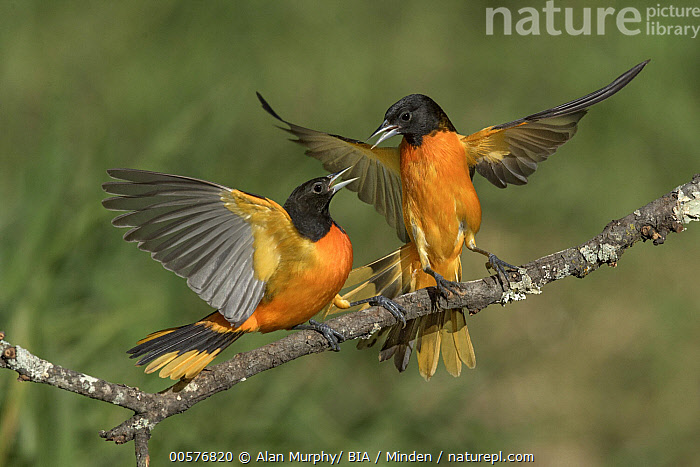 Baltimore Oriole (Icterus galbula) males fighting, Texas  ,  Adult, Baltimore Oriole, Color Image, Competition, Day, Fighting, Full Length, Horizontal, Icterus galbula, Male, Nobody, Orange, Outdoors, Photography, Side View, Songbird, Spreading Wings, Territorial, Texas, Two Animals, Wildlife,Baltimore Oriole,Texas, USA  ,  Alan Murphy/ BIA
