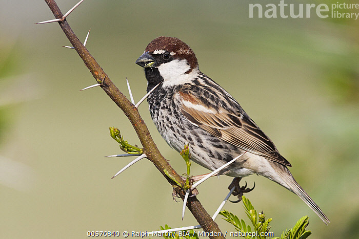 Spanish Sparrow (Passer hispaniolensis) male, Turkey  ,  Adult, Color Image, Day, Full Length, Horizontal, Male, Nobody, One Animal, Outdoors, Passer hispaniolensis, Photography, Side View, Songbird, Spanish Sparrow, Turkey, Wildlife,Spanish Sparrow,Turkey  ,  Ralph Martin/ BIA