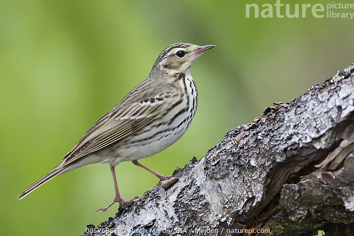 Olive-backed Pipit (Anthus hodgsoni), Russia  ,  Adult, Anthus hodgsoni, Color Image, Day, Full Length, Horizontal, Nobody, Olive-backed Pipit, One Animal, Outdoors, Photography, Russia, Side View, Songbird, Wildlife,Olive-backed Pipit,Russia  ,  Ralph Martin/ BIA