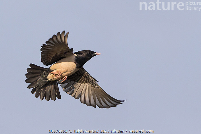 Rosy Starling (Pastor roseus) flying, Kyrgyzstan  ,  Adult, Color Image, Day, Flying, Full Length, Horizontal, Kyrgyzstan, Low Angle View, Nobody, One Animal, Outdoors, Pastor roseus, Photography, Rosy Starling, Side View, Songbird, Wildlife,Rosy Starling,Kyrgyzstan  ,  Ralph Martin/ BIA
