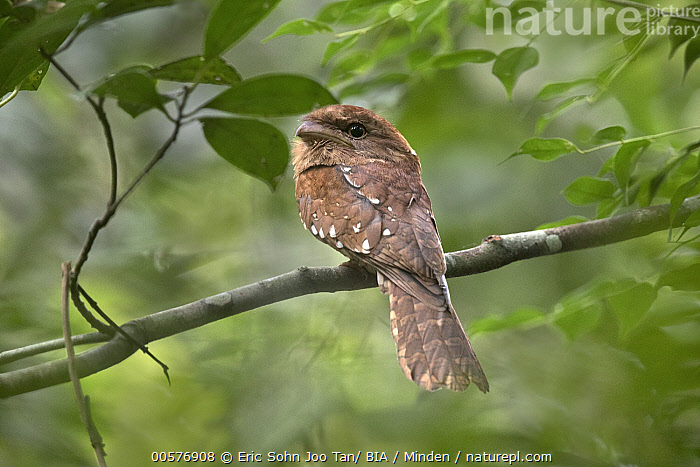 Gould's Frogmouth (Batrachostomus stellatus), Pahang, Malaysia  ,  Adult, Batrachostomus stellatus, Color Image, Day, Full Length, Gould's Frogmouth, Horizontal, Malaysia, Nobody, One Animal, Outdoors, Pahang, Photography, Side View, Wildlife,Gould's Frogmouth,Malaysia  ,  Eric Sohn Joo Tan/ BIA