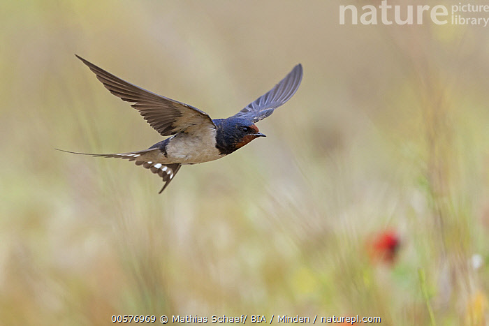 Barn Swallow (Hirundo rustica) flying, Lesvos, Greece  ,  Adult, Barn Swallow, Color Image, Day, Flying, Full Length, Greece, Hirundo rustica, Horizontal, Lesvos, Nobody, One Animal, Outdoors, Photography, Side View, Songbird, Wildlife,Barn Swallow,Greece  ,  Mathias Schaef/ BIA