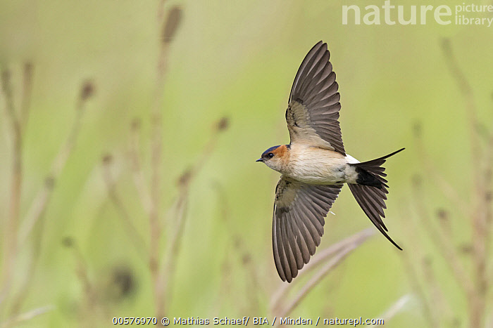 Red-rumped Swallow (Cecropis daurica) flying, Lesvos, Greece  ,  Adult, Cecropis daurica, Color Image, Day, Flying, Full Length, Greece, Horizontal, Lesvos, Nobody, One Animal, Outdoors, Photography, Red-rumped Swallow, Side View, Songbird, Underside, Wildlife,Red-rumped Swallow,Greece  ,  Mathias Schaef/ BIA
