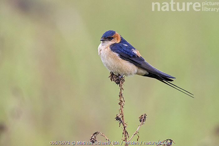 Red-rumped Swallow (Cecropis daurica), Lesvos, Greece  ,  Adult, Cecropis daurica, Color Image, Day, Full Length, Greece, Horizontal, Lesvos, Nobody, One Animal, Outdoors, Photography, Red-rumped Swallow, Side View, Songbird, Wildlife,Red-rumped Swallow,Greece  ,  Mathias Schaef/ BIA