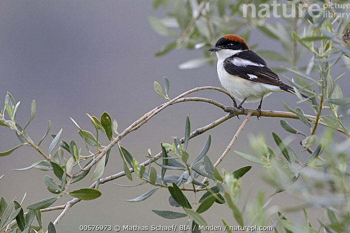 Woodchat Shrike (Lanius senator) male, Lesvos, Greece  ,  Adult, Color Image, Day, Full Length, Greece, Horizontal, Lanius senator, Lesvos, Male, Nobody, One Animal, Outdoors, Photography, Side View, Songbird, Wildlife, Woodchat Shrike,Woodchat Shrike,Greece  ,  Mathias Schaef/ BIA