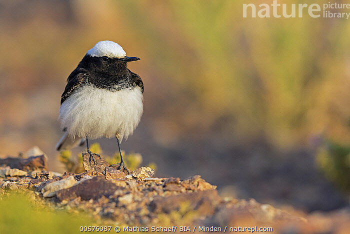 Hooded Wheatear (Oenanthe monacha) male, Israel  ,  Adult, Color Image, Day, Front View, Full Length, Hooded Wheatear, Horizontal, Israel, Male, Nobody, Oenanthe monacha, One Animal, Outdoors, Photography, Songbird, Wildlife,Hooded Wheatear,Israel  ,  Mathias Schaef/ BIA