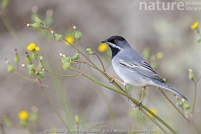 Rueppell's Warbler (Sylvia rueppelli) male, Israel  ,  Adult, Color Image, Day, Full Length, Horizontal, Israel, Male, Nobody, One Animal, Outdoors, Photography, Rueppell's Warbler, Side View, Songbird, Sylvia rueppelli, Wildlife,Rueppell's Warbler,Israel  ,  Mathias Schaef/ BIA