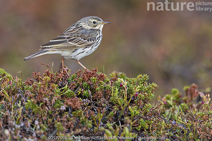 Meadow Pipit (Anthus pratensis), Finnmark, Norway  ,  Adult, Anthus pratensis, Color Image, Day, Finnmark, Full Length, Horizontal, Meadow Pipit, Nobody, Norway, One Animal, Outdoors, Photography, Side View, Songbird, Wildlife,Meadow Pipit,Norway  ,  Mathias Schaef/ BIA