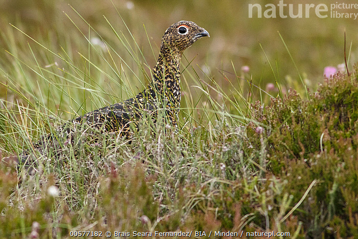 Red Grouse (Lagopus scoticus), Scotland, United Kingdom  ,  Adult, Color Image, Day, Gamebird, Horizontal, Lagopus scoticus, Nobody, One Animal, Outdoors, Photography, Red Grouse, Scotland, Side View, United Kingdom, Waist Up, Wildlife,Red Grouse,United Kingdom  ,  Brais Seara Fernandez/ BIA