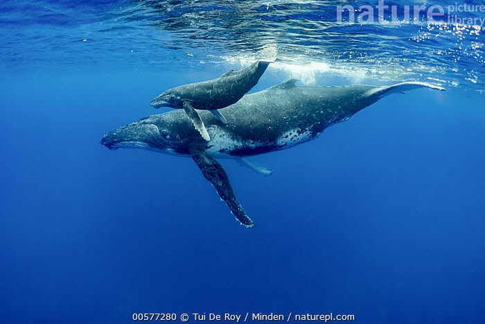 Humpback Whale (Megaptera novaeangliae) mother and calf, Vavau, Tonga  ,  Adult, Baby, Calf, Color Image, Day, Family, Female, Full Length, Horizontal, Humpback Whale, Marine Mammal, Megaptera novaeangliae, Mother, Nobody, Outdoors, Parent, Photography, Side View, Surface, Tonga, Two Animals, Underwater, Vavau, Wildlife,Humpback Whale,Tonga  ,  Tui De Roy