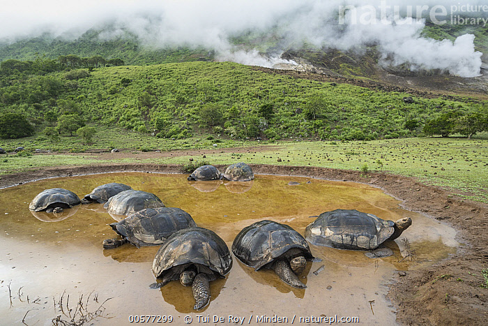 Volcan Alcedo Giant Tortoise (Chelonoidis vandenburghi) group wallowing in seasonal pond, Alcedo Volcano, Isabela Island, Galapagos Islands, Ecuador  ,  Adult, Alcedo Volcano, Animal in Habitat, Chelonoidis nigra vandenburghi, Color Image, Day, Ecuador, Endemic, Front View, Full Length, Galapagos Islands, Horizontal, Isabela Island, Medium Group of Animals, Nobody, Outdoors, Photography, Pond, Side View, Steaming, Threatened Species, Vernal Pool, Volcan Alcedo Giant Tortoise, Volcanic, Vulnerable Species, Wallowing, Wildlife,Volcan Alcedo Giant Tortoise,Ecuador,Adult, Alcedo Volcano, Animal in Habitat, Chelonoidis vandenburghi, Color Image, Day, Ecuador, Endemic, Front View, Full Length, Galapagos Islands, Horizontal, Isabela Island, Medium Group of Animals, Nobody, Outdoors, Photography, Pond, Side View, Steaming, Threatened Species, Vernal Pool, Volcan Alcedo Giant Tortoise, Volcanic, Vulnerable Species, Wallowing, Wildlife,Adult, Alcedo Volcano, Animal in Habitat, Chelonoidis vandenburghi, Color Image, Day, Ecuador, Endemic, Front View, Full Length, Galapagos Islands, Horizontal, Isabela Island, Medium Group of Animals, Nobody, Outdoors, Photography, Pond, Side View, Steaming, Threatened Species, Vernal Pool, Volcan Alcedo Giant Tortoise, Volcanic, Vulnerable Species, Wallowing, Wildlife  ,  Tui De Roy