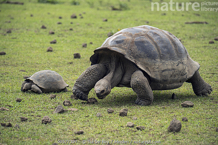 Volcan Alcedo Giant Tortoise (Chelonoidis vandenburghi) and juvenile grazing, Alcedo Volcano, Isabela Island, Galapagos Islands, Ecuador  ,  Adult, Alcedo Volcano, Chelonoidis nigra vandenburghi, Color Image, Day, Difference, Ecuador, Endemic, Feeding, Full Length, Galapagos Islands, Grazing, Horizontal, Isabela Island, Juvenile, Nobody, Outdoors, Photography, Side View, Size Comparison, Threatened Species, Two Animals, Volcan Alcedo Giant Tortoise, Vulnerable Species, Wildlife,Volcan Alcedo Giant Tortoise,Ecuador,Adult, Alcedo Volcano, Chelonoidis vandenburghi, Color Image, Day, Difference, Ecuador, Endemic, Feeding, Full Length, Galapagos Islands, Grazing, Horizontal, Isabela Island, Juvenile, Nobody, Outdoors, Photography, Side View, Size Comparison, Threatened Species, Two Animals, Volcan Alcedo Giant Tortoise, Vulnerable Species, Wildlife  ,  Tui De Roy