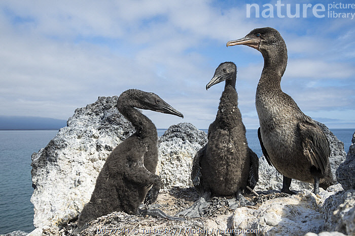 Flightless Cormorant (Phalacrocorax harrisi) parent and chicks, Beagle Crater, Isabela Island, Galapagos Islands, Ecuador  ,  Adult, Baby, Beagle Crater, Chick, Color Image, Day, Ecuador, Endangered Species, Endemic, Flightless Cormorant, Front View, Full Length, Galapagos Islands, Horizontal, Isabela Island, Nobody, Outdoors, Parent, Phalacrocorax harrisi, Photography, Seabird, Side View, Three Animals, Wildlife,Flightless Cormorant,Ecuador  ,  Tui De Roy