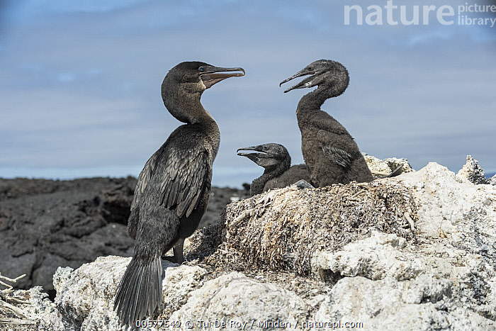 Flightless Cormorant (Phalacrocorax harrisi) parent at nest with chicks, Beagle Crater, Isabela Island, Galapagos Islands, Ecuador  ,  Adult, Baby, Beagle Crater, Chick, Color Image, Day, Ecuador, Endangered Species, Endemic, Family, Flightless Cormorant, Full Length, Galapagos Islands, Horizontal, Isabela Island, Nest, Nobody, Outdoors, Parent, Phalacrocorax harrisi, Photography, Seabird, Side View, Three Animals, Wildlife,Flightless Cormorant,Ecuador  ,  Tui De Roy