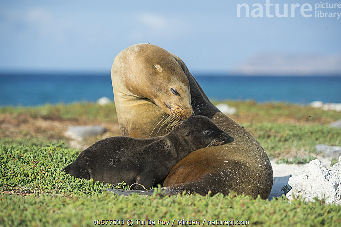 Galapagos Sea Lion (Zalophus wollebaeki) mother nuzzling and pup, Mosquera Island, Galapagos Islands, Ecuador  ,  Adult, Affection, Baby, Bonding, Color Image, Cute, Day, Ecuador, Endangered Species, Endemic, Female, Full Length, Galapagos Islands, Galapagos Sea Lion, Horizontal, Marine Mammal, Mother, Mosquera Island, Nobody, Nuzzling, Outdoors, Parent, Photography, Pup, Side View, Tenderness, Touching, Two Animals, Wildlife, Zalophus wollebaeki,Galapagos Sea Lion,Ecuador  ,  Tui De Roy