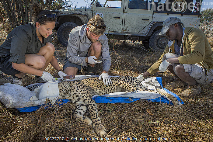 Cheetah (Acinonyx jubatus) biologists, Caz Sanguinetti and Milan Vinks, and veterinarian, Kambwiri Banda, collaring twenty-one month old sub-adult female, Kafue National Park, Zambia  ,  Acinonyx jubatus, Acinonyx sp, Adult, Africa, African Descent, Animal, Biologist, Cat, Caucasian Appearance, Caz Sanguinetti, Cheetah, Collar, Color Image, Conservation, Collaring, Day, Felidae, Female, Front View, Full Length, Horizontal, Kafue National Park, Kambwiri Banda, Male, Mammal, Man, Milan Vinks, National Park, One Animal, Outdoors, Photography, Research, Researcher, Researching, Science, Scientist, Sedated, Side View, Southern Africa, Sub-Adult, Tagged, Threatened Species, Three People, Veterinarian, Vulnerable Species, Wild Cat, Wildlife, Woman, Young Adult, Zambia, Zambia National Park, Zambian Carnivore Programme,Cheetah,Zambia  ,  Sebastian Kennerknecht