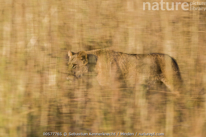 African Lion (Panthera leo) six year old female walking through savanna, Kafue National Park, Zambia  ,  Adult, Africa, African Lion, Animal, Big Cat, Blurred Motion, Cat, Color Image, Day, Felidae, Female, Full Length, Grassland, Horizontal, Kafue National Park, Lion, Lioness, Mammal, National Park, Nobody, One Animal, Outdoors, Panning, Panthera sp, Panthera leo, Photography, Savanna, Side View, Southern Africa, Threatened Species, Vulnerable Species, Walking, Wild Cat, Wildlife, Zambia, Zambia National Park,African Lion,Zambia  ,  Sebastian Kennerknecht