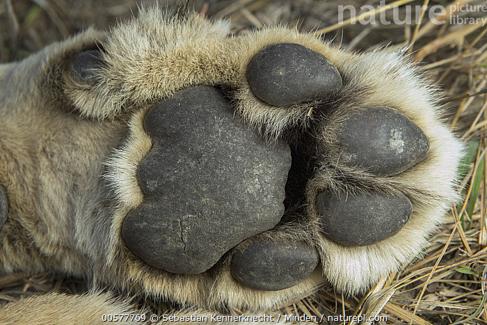African Lion (Panthera leo) six year old female front paw, Kafue National Park, Zambia  ,  Adult, Africa, African Lion, Animal, Big Cat, Cat, Close Up, Color Image, Collaring, Day, Digital Pad, Felidae, Female, Foot, Horizontal, Kafue National Park, Lion, Lioness, Mammal, Metatarsal Pad, National Park, Nobody, One Animal, Outdoors, Panthera sp, Panthera leo, Paw, Photography, Research, Researching, Science, Sedated, Southern Africa, Threatened Species, Underside, Vulnerable Species, Wild Cat, Wildlife, Zambia, Zambia National Park,African Lion,Zambia  ,  Sebastian Kennerknecht