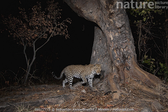 Leopard (Panthera pardus) female at night, Kafue National Park, Zambia  ,  Adult, Africa, Animal, Big Cat, Camera Trap, Cat, Color Image, Felidae, Female, Full Length, Horizontal, Kafue National Park, Leopard, Mammal, National Park, Night, Nobody, One Animal, Outdoors, Panthera sp, Panthera pardus, Photography, Side View, Southern Africa, Threatened Species, Vulnerable Species, Wild Cat, Wildlife, Zambia, Zambia National Park,Leopard,Zambia  ,  Sebastian Kennerknecht