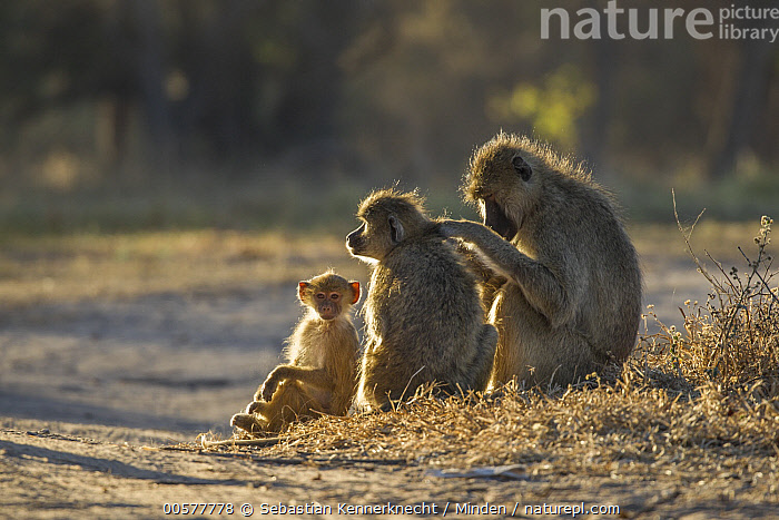 Yellow Baboon (Papio cynocephalus) male grooming female with young, Kafue National Park, Zambia  ,  Adult, Africa, Animal, Baboon, Backlighting, Baby, Bonding, Cercopithecidae, Cleaning, Color Image, Day, Family, Father, Female, Full Length, Grooming, Horizontal, Kafue National Park, Looking, Looking at Camera, Male, Mammal, Monkey, Mother, National Park, Nobody, Outdoors, Papio sp, Papio cynocephalus, Parent, Photography, Primate, Side View, Southern Africa, Three Animals, Wildlife, Yellow Baboon, Young, Zambia, Zambia National Park,Yellow Baboon,Zambia  ,  Sebastian Kennerknecht
