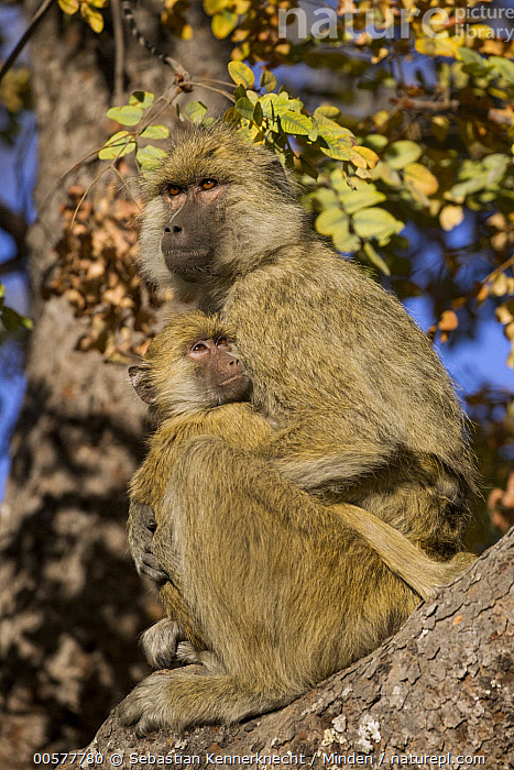 Yellow Baboon (Papio cynocephalus) mother and young, Kafue National Park, Zambia  ,  Adult, Africa, Animal, Arboreal, Baboon, Baby, Cercopithecidae, Color Image, Day, Female, Full Length, Kafue National Park, Mammal, Monkey, Mother, National Park, Nobody, Outdoors, Papio sp, Papio cynocephalus, Parent, Photography, Primate, Side View, Southern Africa, Two Animals, Vertical, Wildlife, Yellow Baboon, Young, Zambia, Zambia National Park,Yellow Baboon,Zambia  ,  Sebastian Kennerknecht